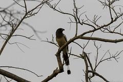 20180303-0I7A4201 (siddharthx) Tags: narsapurforestnarsapurtelanganahyderabadroadtripbirds bonthapalle telangana india in narsapurforestnarsapurtelanganahyderabadroadtripbirdswildlifewildscrubforestwaterbodywadingbirds rufoustreepie treepie roseringedparakeet parakeet longtailedshrike shrike yellowthroatedsparrow chestnutshoulderedpetronia sparrow petronia