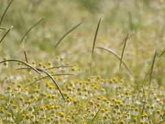 La multitude et la différence **---+°---° (Titole) Tags: camomille camomile wildflowers many titole nicolefaton grasses 15challengeswinner challengegamewinner
