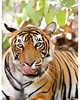 AFTERTASTE : Tigress's portrait after she relished a sumptuous feast (thakurbrajeshsingh23) Tags: photographer photography passion wild animal royalbengaltiger tiger wildlife wilderness