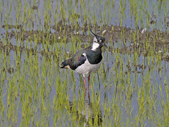 Vanellus vanellus / Pavoncella /   Northern Lapwing (Alvaro Colombo) Tags: coth fantasticnature nationalgeographicwildlife coth5 avianexcellence ngc npc