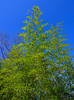 Bamboo trees under blue sky (phuong.sg@gmail.com) Tags: asia asian background bamboo china chinese fengshui foliage forest garden green grove grow infinity japan japanese jungle lush mediate mediation natural nature park pattern stem texture tree tropical typical vibrant vivid zen