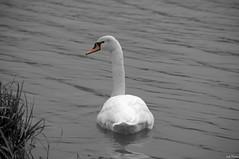 Swan (Vak Photos) Tags: swan bird nature water animal