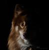 half light (sure2talk) Tags: tasku finnishlapphund flash speedlight sb900 offcamera snoot halflight flickrfriday lettherebelight nikond7000 nikkor50mmf14gafs