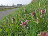 Red Dead-nettle among grass (Philip_Goddard) Tags: nature naturalhistory plants floweringplants angiosperms wildflowers labiatae lamiaceae lamium lamiumpurpureum deadnettles reddeadnettle europe unitedkingdom britain british britishisles greatbritain uk england southwestengland devon exeter exetershipcanal canal exetercanal riversidevalleypark