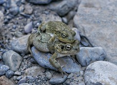 Frisky frogs in a wadi.