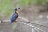 Azure kingfisher  DSC_5662 (BlueberryAsh) Tags: porland2017 animals birds casterton visitorinfomrationcentre azurekingfisher kingfisher bird australian birdtamron 150600nikon d500