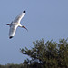Flight of the White Ibis