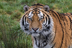 Yarko (Joey's Wildlife and Nature) Tags: amur siberian tiger tigers wild big cat wildcat bigcat animal canonphotography panthera safariparkbeeksebergen eyetoeye feline zoophotograpy zoo zoophotography sigma50500 sigma canon