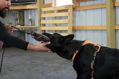 DSC_0169 (Charlotte Hoberg) Tags: german shepherd belgian malinois mondioring ipo schutzhund dog dogs cute training black fawn while rottweiler pit bull boxer lab labrador