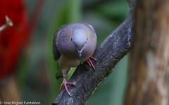 1- Es increible como las hormonas de cortejo  y el Breeding plumaje llega a encender los colores tornasoles de cortejo en esta especie que en tiempo no reproductivo se queda en el monocromático! (Cimarrón Mayor 12,000.000. VISITAS GRACIAS) Tags: ordencolumbiformes familiacolumbidae nombrecientíficozenaidaauriculatacaucae macho zenaidatorcaza tórtolatorcaza tórtolaorejuda palomitamontera protónimozenaidaauriculatacaucae ningleseareddove male lugardecapturafincaalejandríakm18 cali colombia ave vogel bird oiseau paxaro fugl pássaro птица fågel uccello pták vták txori lintu aderyn éan madár cimarrónmayor panta pantaleón josémiguelpantaleón objetivo500mm telefoto700mm 7dmarkii canoneos canoneos7dmarkii naturaleza libertad libertee libre free fauna dominicano pájaro montañas