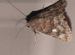 One spot Moth Amyna axis Bagisarinae Noctuoidea Airlie Beach rainforest P1180241 (Steve & Alison1) Tags: one spot moth sp noctuidae lepidoptera airlie beach rainforest amyna axis bagisarinae noctuoidea