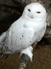 Snowy owl ♂ (Linda DV) Tags: lindadevolder lumix panasonic zooantwerpen zoo cityzoo animalpark fauna nature geotagged geomapped 2018 belgium strigiformes ribbet vulnerable iucnredlist buboscandiacus