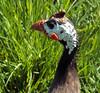 Gleanie (Cornishcarolin. Thank you for over 2 Million Views) Tags: wiltshire httpswwwlongleatcouk birds gleanies guineafowl nature