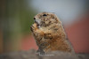 Täglich grüsst das Murmeltier (Fhyrst) Tags: murmeltier canon tier nagetiere