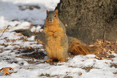 Squirrels in Ann Arbor at the University of Michigan  (February 2nd, 2018) (cseeman) Tags: gobluesquirrels squirrels annarbor michigan animal campus universityofmichigan umsquirrels02022018 winter eating peanut februaryumsquirrel snow snowy sunny foxsquirrels easternfoxsquirrels michiganfoxsquirrels universityofmichiganfoxsquirrels