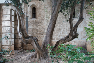 Olive tree at the cathedral