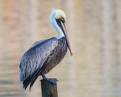 Brown Pelican (stephaniepluscht) Tags: alabama 2018 brown pelican reflection little lagoon pass gulf shores post cottage cottages