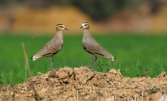 Sociable Lapwing (Zahoor-Salmi) Tags: zahoorsalmi salmi wildlife pakistan wwf nature natural canon birds watch animals bbc flickr google discovery chanals tv lens camera 7d mark 2 beutty photo macro action walpapers bhalwal punjab