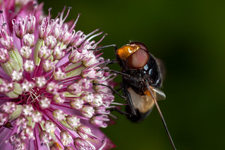Tiny Planet, Big Hoverfly - _TNY_1423