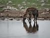 The waterhole collection (zimpetra) Tags: etosha namibia africa africanfauna waterhole drinking hyena mammal