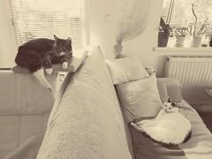 Moritz & Simba (martinap.1) Tags: huawei mate 9 cats cat katze hauskatze
