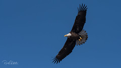 Bald Eagles of the Jersey Shore | 2018 - 12 (RGL_Photography) Tags: americanbaldeagle baldeagle birding birds birdsofprey birdwatching eagle freedom gardenstate godblessamerica haliaeetusleucocephalus jerseyshore monmouthcounty newjersey nikonafs600mmf4gedvr nikond500 raptors symbolofamerica us unitedstates wildlife wildlifephotography bif birdsinflight