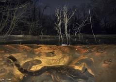 Moonlight Dance (Nick Scobel) Tags: eastern tiger salamander ambystoma tigrinum michigan spring amphibian caudata breeding vernal ephemeral pool swim underwater