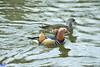 Mandarinenten (McDrifter) Tags: ente duck see wasser mandarinente