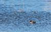 0T4A0503 (2) (Alinbidford) Tags: alancurtis alinbidford brandonmarsh teal wildbirds