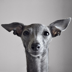 'Y' Face (@dora_figalga) Tags: y face dogselfie dogphoto dogportrait greydog iggy sighthound italiangreyhound greyhound galgo dog pet doglover cutedog cute instadog instagram sweet sweetdog lovely dora dorafigalga