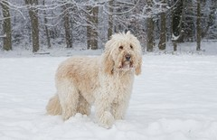 Snow doodle (Chickpeasrule) Tags: evie dog goldendoodle trees winter cold