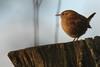 Zaunkönig (leisergu) Tags: vogel bird troglodytes eurasian wren