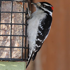 Downy woodpecker (Picoides pubescens) male (octothorpe enthusiast) Tags: feeder urban bird saskatoon saskatchewan downywoodpecker picoidespubescens male