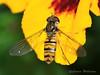 Episyrphus balteatus - Marmalade hoverfly (Carrie Williams_13) Tags: macro episyrphusbalteatus female hoverfly marmaladehoverfly nikond3100 nikon reverselens invertedlens invertebrate insect uk capelmanorgardens garden wings compoundeye syrphidae syrphini