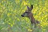 """N° 867 / Chevreuil """" Chevrette """" ( Capreolus capreolus ) Focus Distance - 37.58 m (Norbert Lefevre) Tags: fleurs chevreuil chevrette nikon d500 300mmf4"""