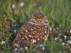 Burrowing Owl (BMADHudson) Tags: burrowingowl owl bird raptor closeup nikon florida southflorida nature wildlife