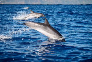 Racing with Dolphins - Madeira, Portugal