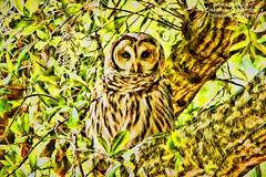 Barred Owl male (NancySmith133) Tags: greenwoodcemetery barredowl breedingandnestingseason thecitybeautiful centralfloridausa