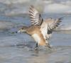 American Wigeon (Mawrter) Tags: americanwigeon wigeon bird birding avian flight landing icy frozen river choptankriver cambridgemaryland maryland nature wild wildlife motion action canon specanimal