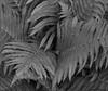 Abundance (John Neziol) Tags: jrneziolphotography portrait fern foliage plant garden outdoor leaves leaf nikon nikondslr nikoncamera nature nikond80 naturallight closeup monochrome brantford beautiful bright