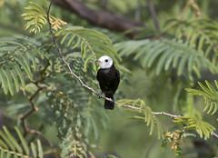 Trinidad (richard.mcmanus.) Tags: trinidad caribbean westindies bird wildlife whiteheadedmarshtyrant animal mcmanus tyrant