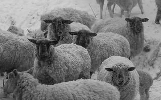 sheep snow facing looking bw-0276