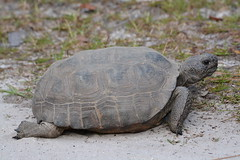 GOPHER  TORTOISE (concep1941) Tags: turtles reptiles openwoods scrubs grasslands