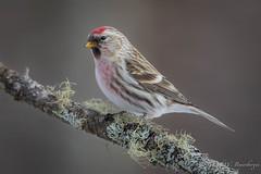 Common Redpoll (Turk Images) Tags: aspenparkland carduelisflammea commonredpoll isletlake alberta birds core fringillidae winter