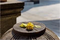 Kudroli Gokarnath Temple  dedicated to Shiva ... (miriam ulivi) Tags: miriamulivi nikond7200 indiadelsud karnataka newmangalore kudroligokarnathtemple dettaglio detail fiore flower petali petals luce light ombra shadow