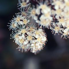 Happy flowers (leadin2) Tags: eos m6 canon 2017 canonefs35mmf28macroisstm road side wild flower green australia melbourne victoria bud 35mm macro
