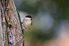 Marsh tit (Photo & Nature) Tags: tree bird songbird marsh tit deutschland bamberg nikor nikon d3300 200500 nature wildlife animal vögel sumpfmeise