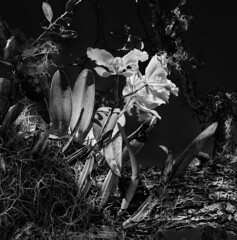 Orchid in the tree (Tim Ravenscroft) Tags: orchid tree flower monochrome blackandwhite blackwhite hasselblad hasselbladx1d x1d