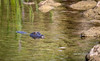 Swimming Gator (tclaud2002) Tags: gator alligator reptile lizard wildlife animal water pond rocks landscape nature mothernature outdoors greatoutdoors phippspark stuart florida usa