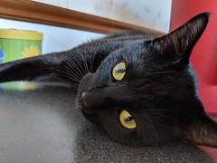 Sam before distruction (CopperScaleDragon) Tags: cat kitten feline black tuxedo sam dean pets